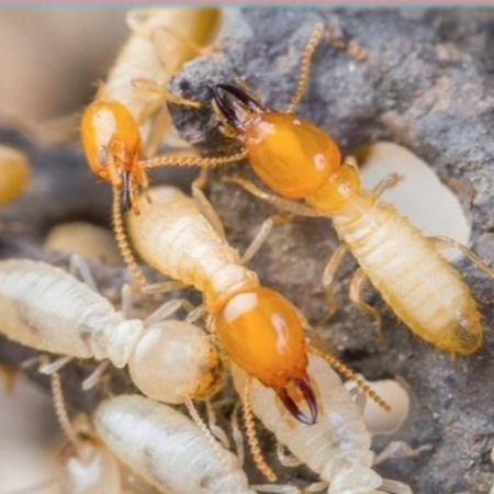 ALNASS Pest Control & Hygiene - Learn About Termite
